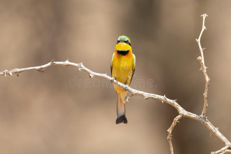 Close-up of a Little Bee Eater taking sitting on perch waiting for prey royalty free stock photography