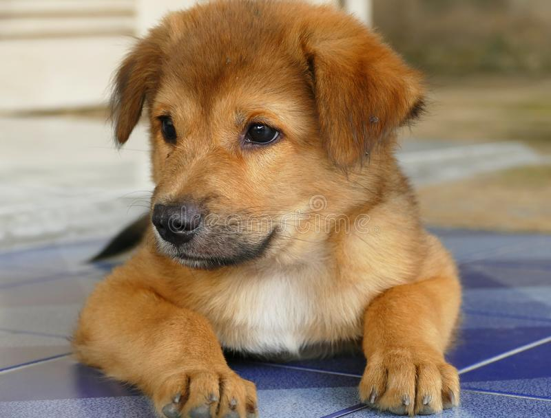 Close-Up Little Brown Puppy Dog Lying on the Floor stock image