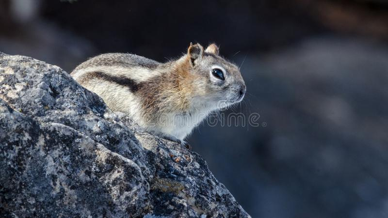 Close up of little chipmunk perched on rock royalty free stock image