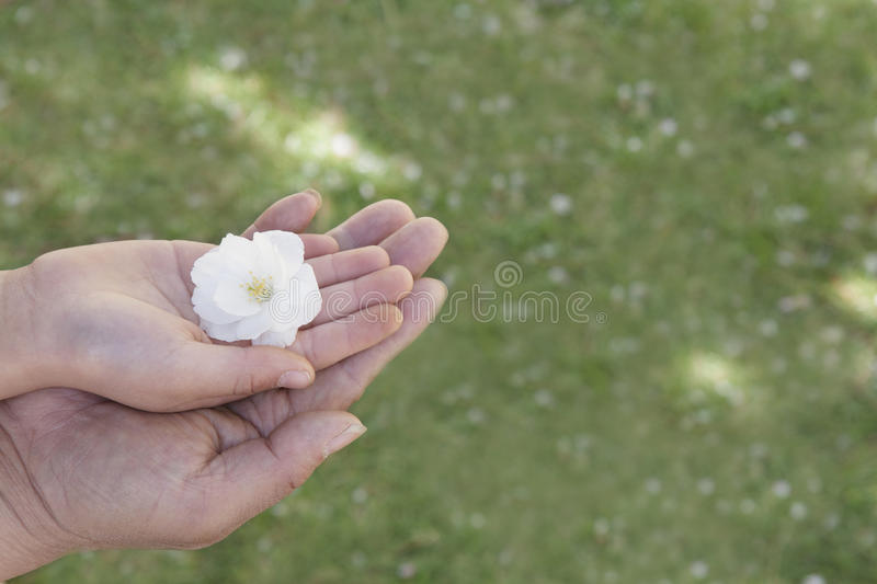 Close-up of a little girls hand and her fathers hand on top of each other holding a cherry blossom stock photos