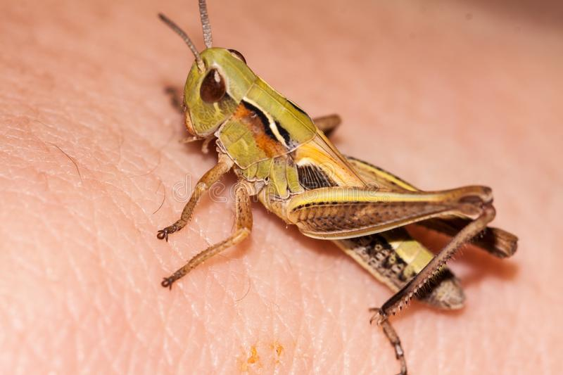 Close up of little grasshopper stock photography