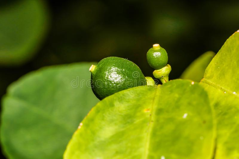 Closeup of little green lemons on tree in garden stock photography