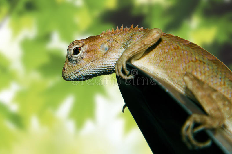 Close-up of little Iguana. In the green background royalty free stock image