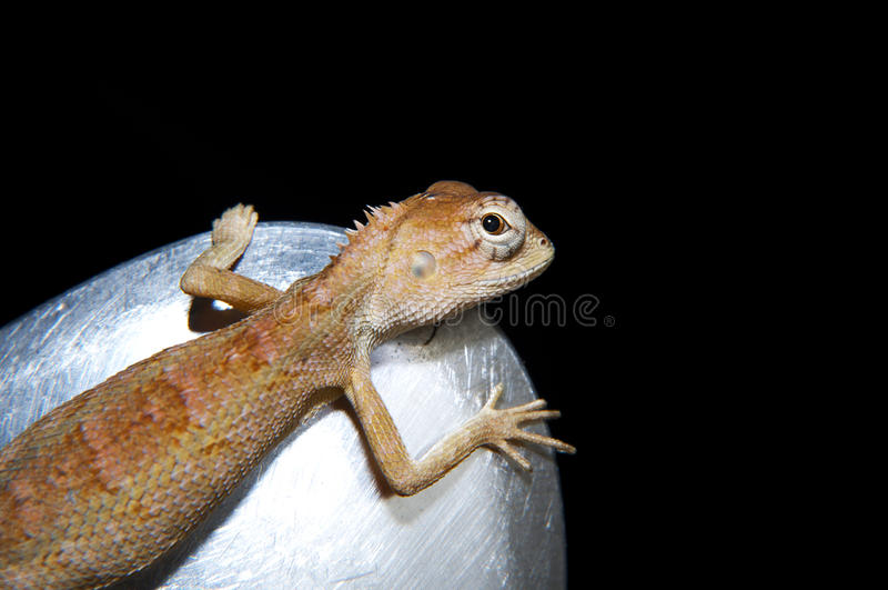 Close-up of little Iguana. In the dark background stock image