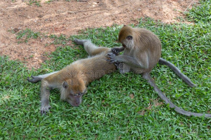 Little monkey playing around at Phatthalung, Thailand. Close up of little monkey playing around at Phatthalung, Thailand royalty free stock image