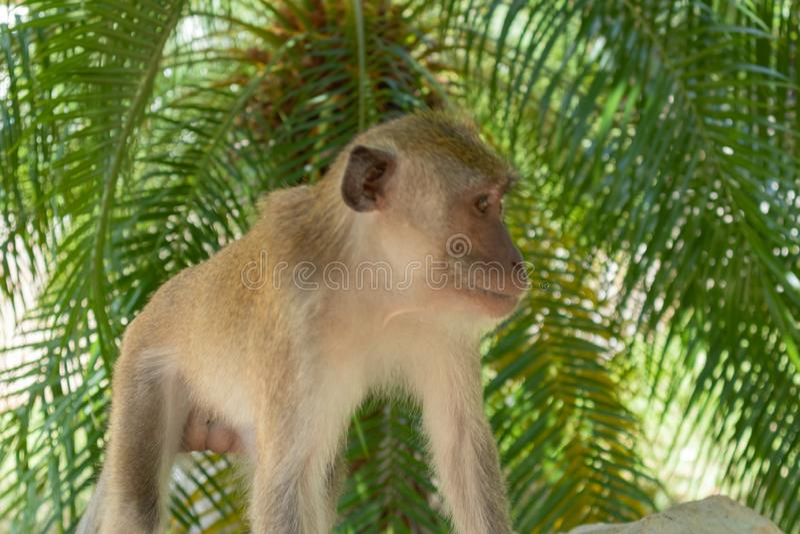 Little monkey playing around at Phatthalung, Thailand. Close up of little monkey playing around at Phatthalung, Thailand stock photo
