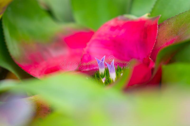 Close up little purple flower blooming in bromeliad with water tank inside and around the leaves.  stock photography