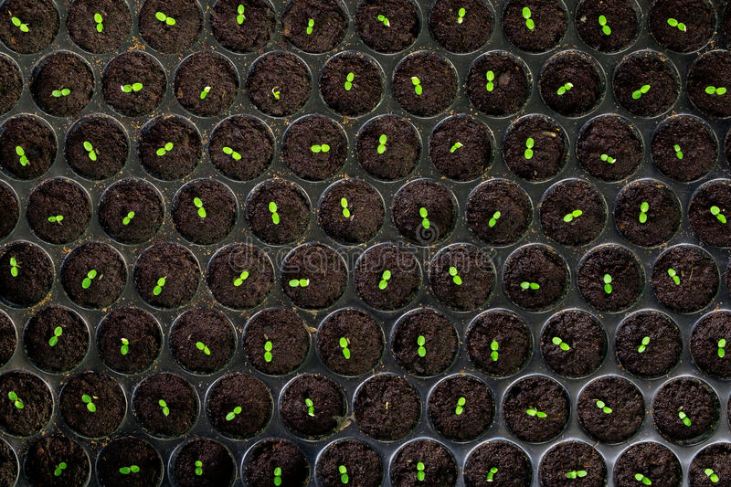 Close up of Little sprout seeding in the garden, stock photography