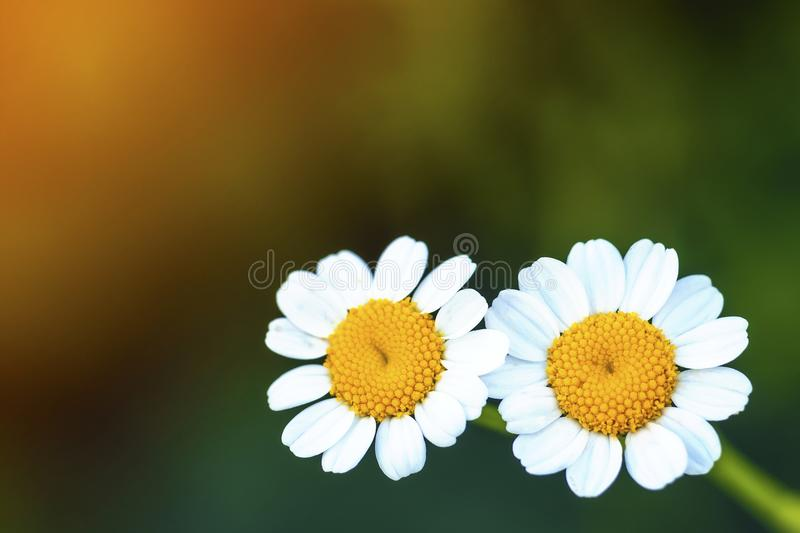 Close up little white daisy flowers royalty free stock image