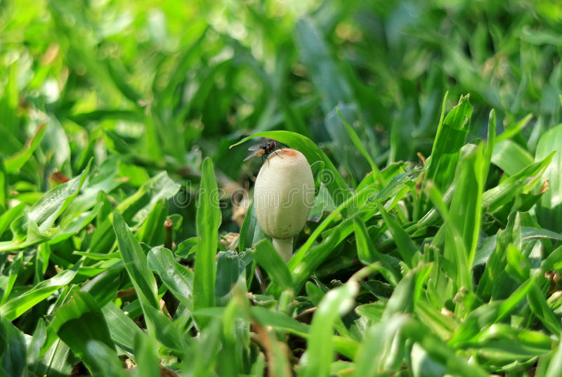 Close-up of a little wild white mushroom with a fly on the green grass field stock photography