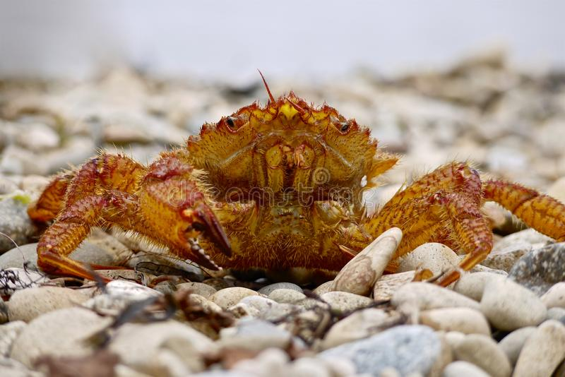 Close-up of live crab sits on a sea pebble stock image