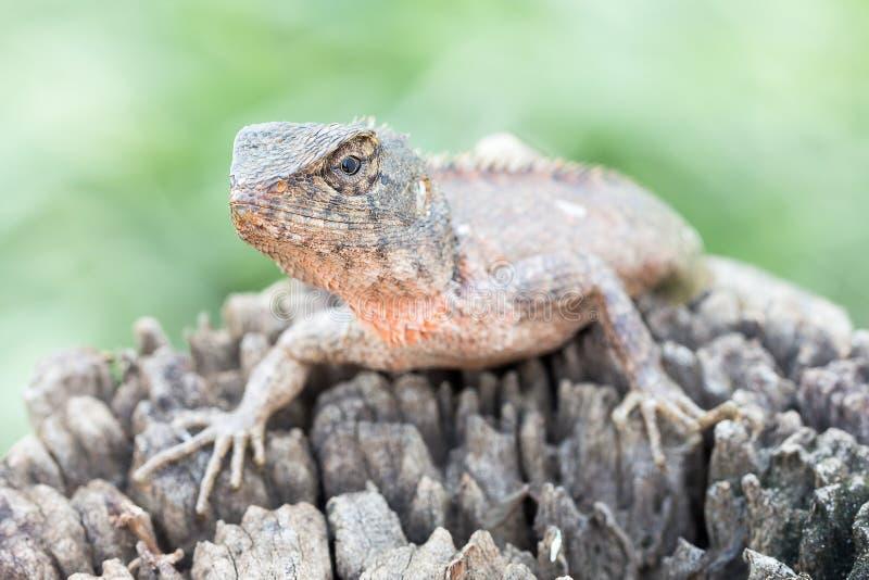 Close up Lizard on the log stock photo