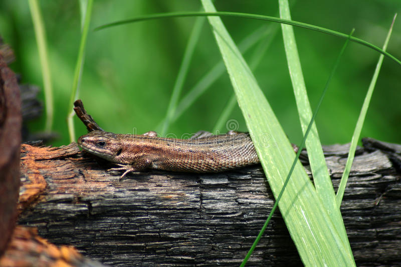 Close up lizard relaxing on the wood