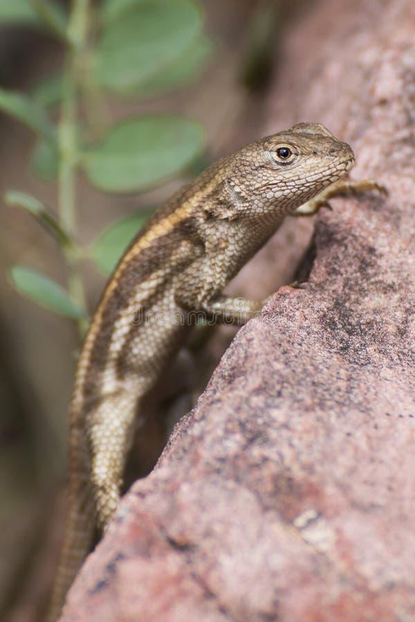 Close Up of Lizard on Rock Staring at Camera stock photos