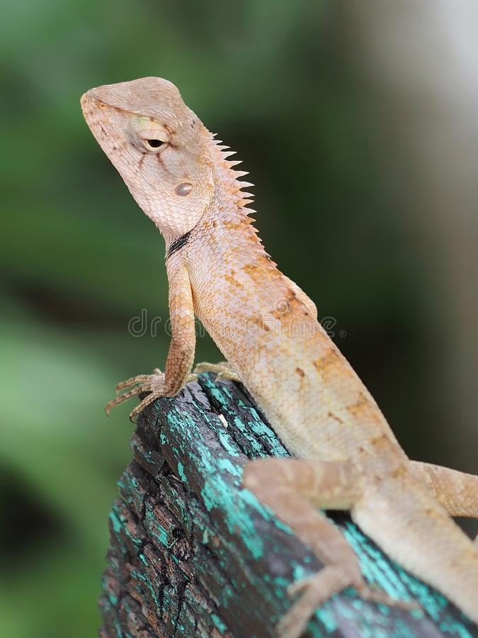 Close up lizard on the wood stock image