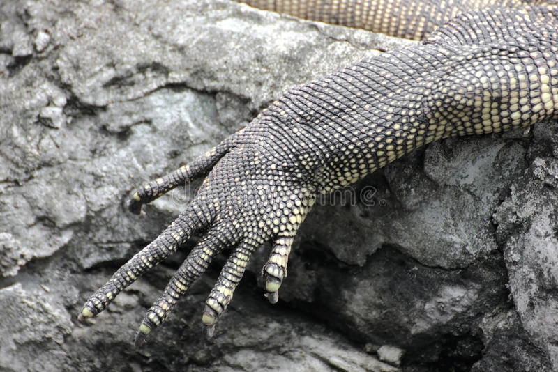 Close Up of a Lizards arm and claws.  stock photo