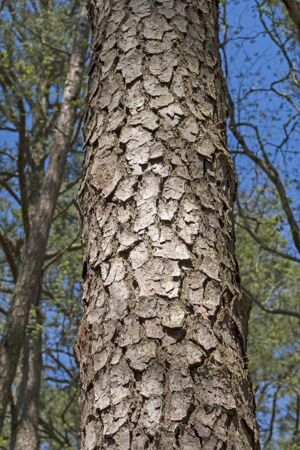Close up of Loblolly Pine Tree Bark stock photography
