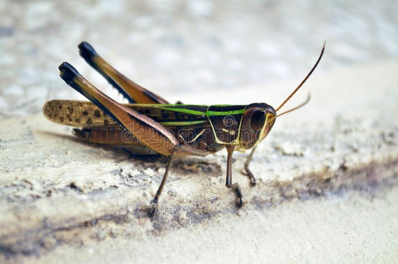 Close-up of  a Locust royalty free stock photo