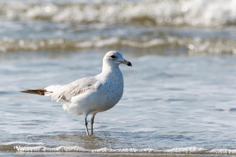 Seagull walking along the beach in the Atlantic Ocean. Close up of a lone seagull walking on the beach with the Atlantic Ocean tide coming in royalty free stock photography
