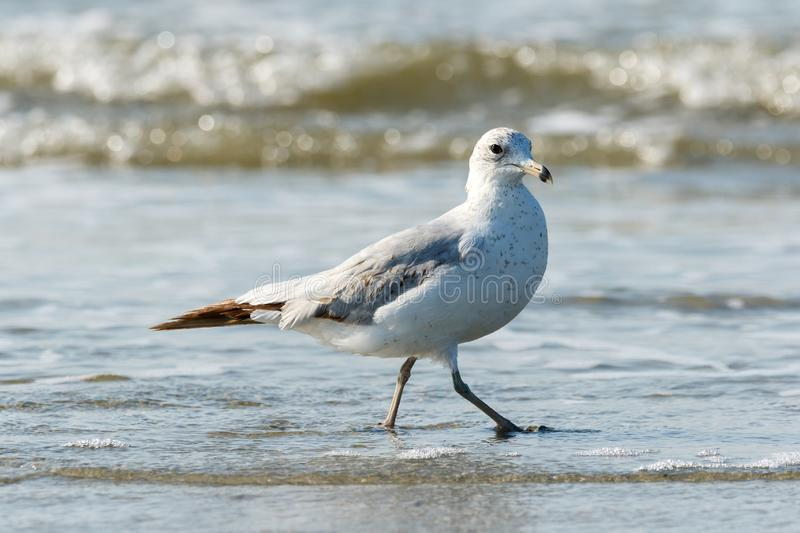 Seagull walking along the beach in the Atlantic Ocean. Close up of a lone seagull walking on the beach with the Atlantic Ocean tide coming in stock photos
