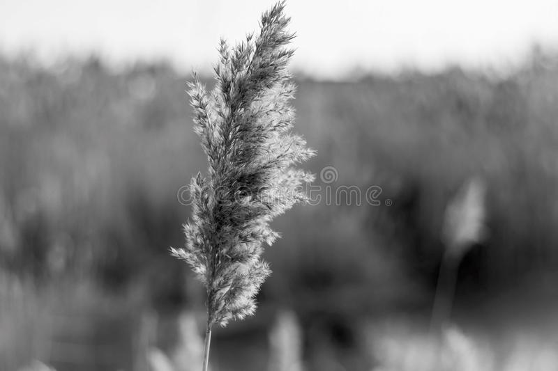 Close up lonely plant on the agriculture field, cold autumn in Bulgaria stock illustration