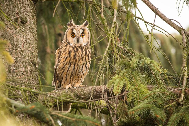 Close-up Long-eared Owl royalty free stock photo