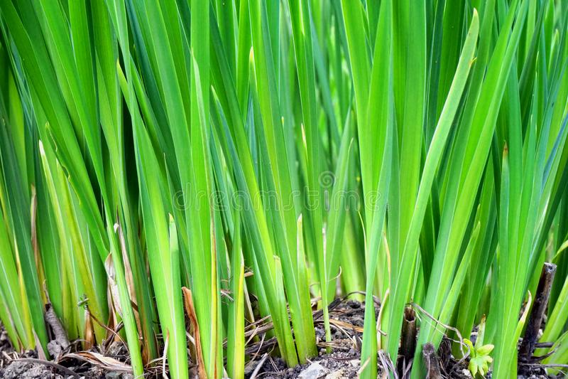 Close-up of long green grass royalty free stock image