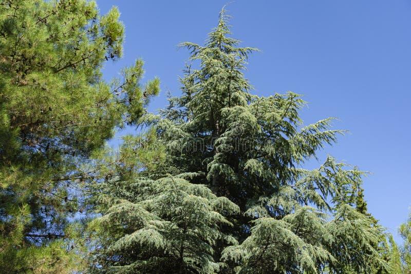 Close-up of long green needles Italian Stone pine Pinus pinea and blue needles Blue Atlas Cedar tree. Cedrus Atlantica Glauca in Aivazovsky landscape park Park royalty free stock photo