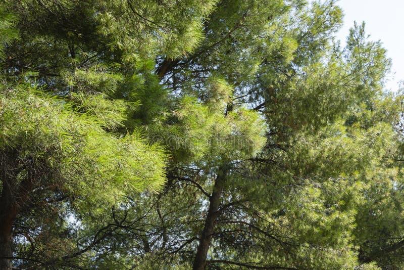 Close-up of long green needles Italian Stone pine Pinus pinea, umbrella or parasol pine in Aivazovsky landscape park. Park Paradise in Partenit, Crimea royalty free stock image