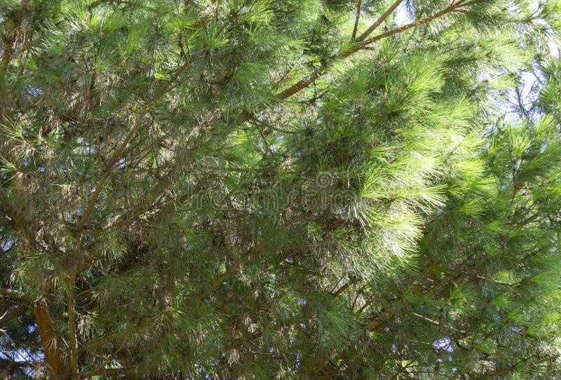 Close-up of long green needles Italian Stone pine Pinus pinea, umbrella or parasol pine in Aivazovsky landscape park. Park Paradise in Partenit, Crimea stock images