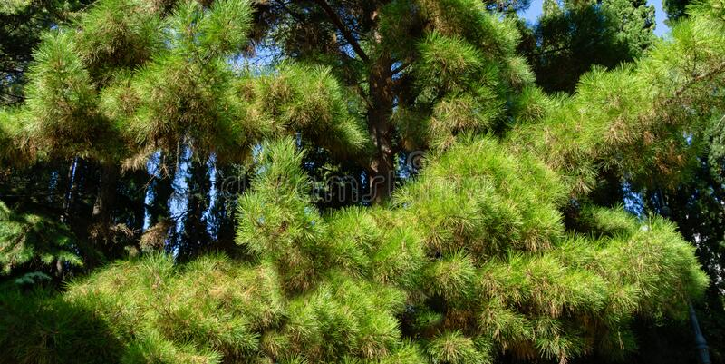 Close-up of long green needles Italian Stone pine Pinus pinea, umbrella or parasol pine in Aivazovsky landscape park. Park Paradise in Partenit, Crimea royalty free stock photo