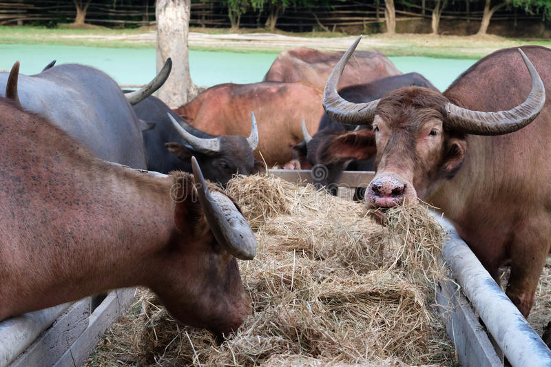 Close up long horn buffalo eating dried grass or straw in stables stock photo