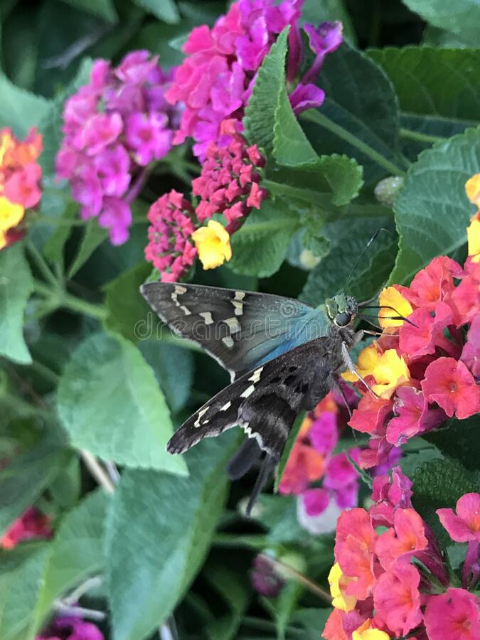 Close up of Long-tailed Skipper Butterfly Feeding on Lantana Flowers. Close up of a Long-tailed Skipper, Urbanus proteus, butterfly feeding on Lantana verbena royalty free stock photo