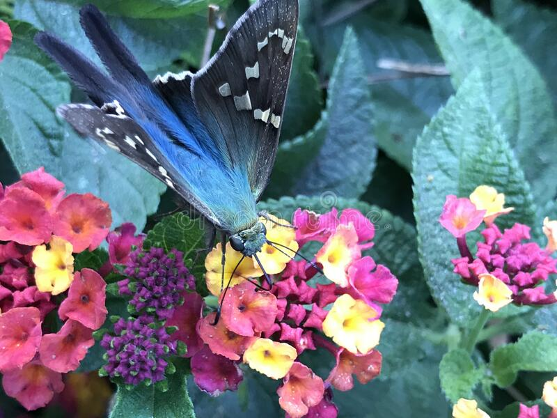 Close up of Long-tailed Skipper Butterfly Feeding on Lantana Flowers. Close up of a Long-tailed Skipper, Urbanus proteus, butterfly feeding on Lantana verbena stock photos