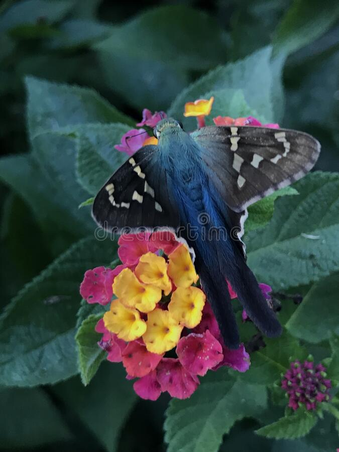 Close up of Long-tailed Skipper Butterfly Feeding on Lantana Flowers. Close up of a Long-tailed Skipper, Urbanus proteus, butterfly feeding on Lantana verbena stock photography