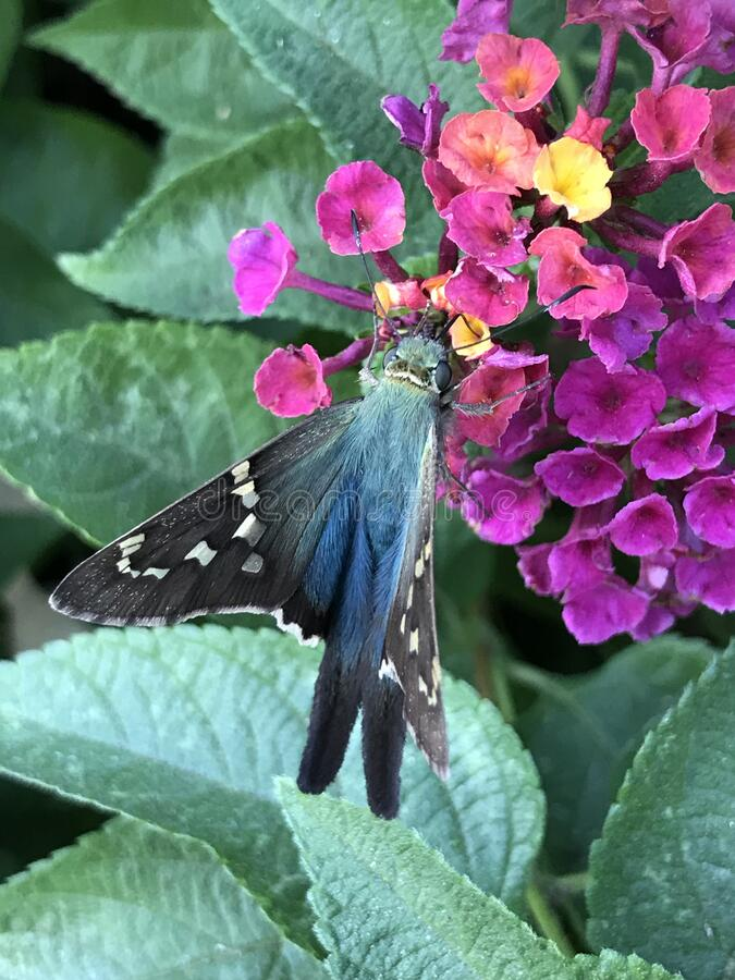 Close up of Long-tailed Skipper Butterfly Feeding on Lantana Flowers. Close up of a Long-tailed Skipper, Urbanus proteus, butterfly feeding on Lantana verbena royalty free stock photography