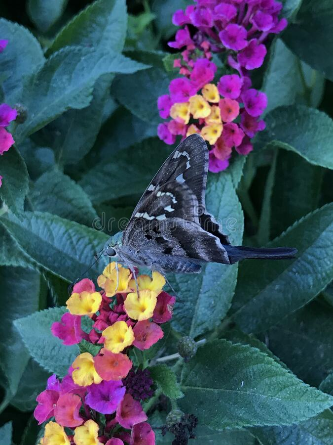 Close up of Long-tailed Skipper Butterfly Feeding on Lantana Flowers. Close up of a Long-tailed Skipper, Urbanus proteus, butterfly feeding on Lantana verbena stock photo