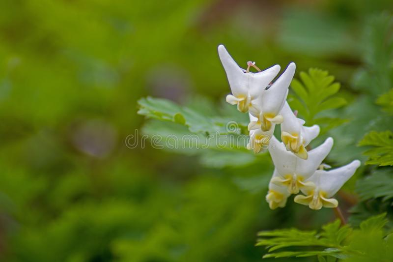 Close-Up Look At Dutchman`s Breeches Blossoms. Dutchman`s Breeches blossoms in a bunch on the forest floor in springtime royalty free stock image