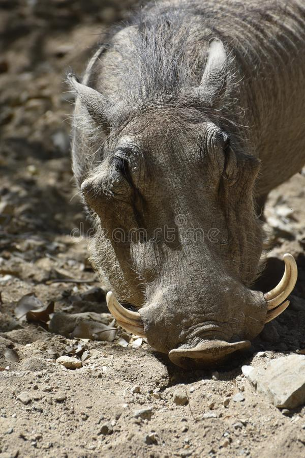 Up Close Look Into the Face of a Warthog royalty free stock photography