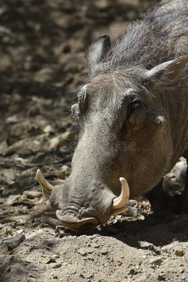 Adorable Close Up Look into the Face of a Warthog stock photos