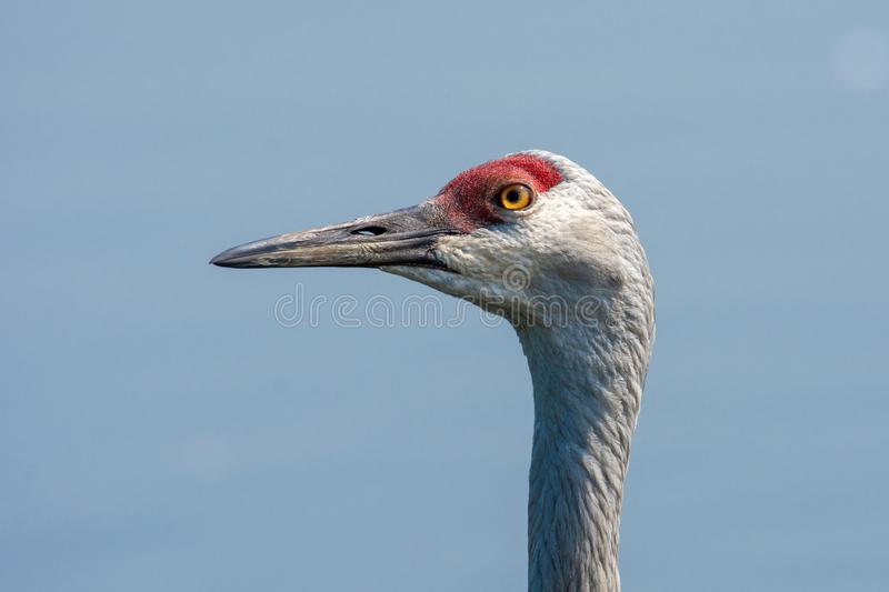 Close up look at the head of a sandhill crane royalty free stock photography