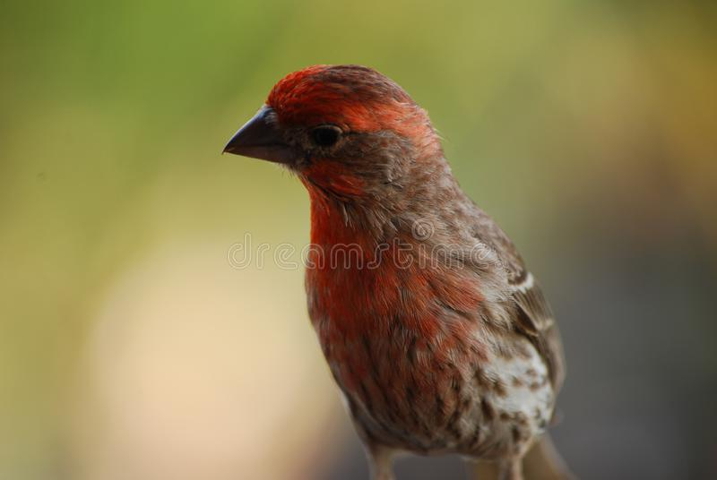Close Up Look at a House Finch in Hawaii stock image