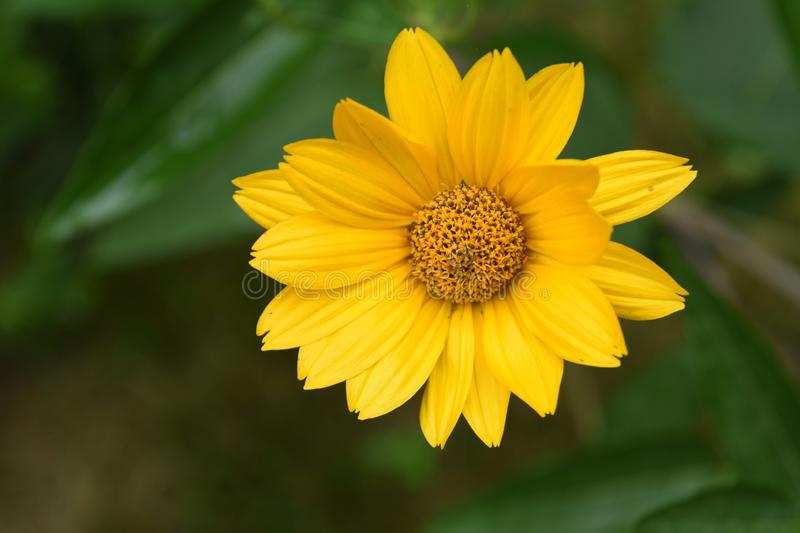 Close Up Look at a Pretty Yellow False Sunflower royalty free stock photography