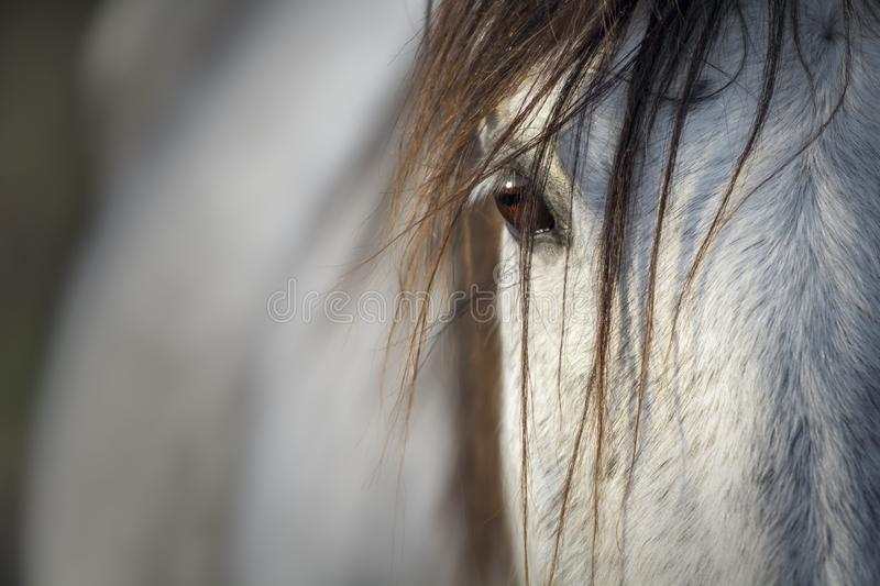 Close-up of the look of a purebred Spanish horse stock image
