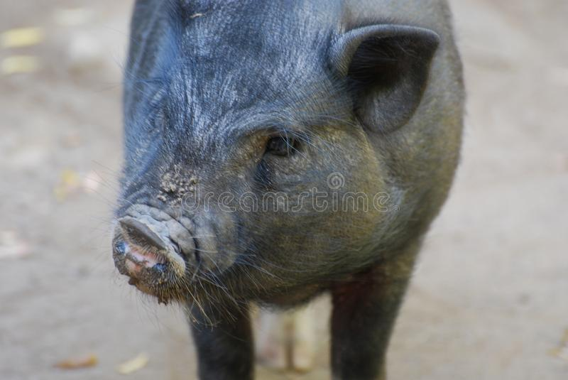 Close Up Look at a Wild Boars Face stock photo