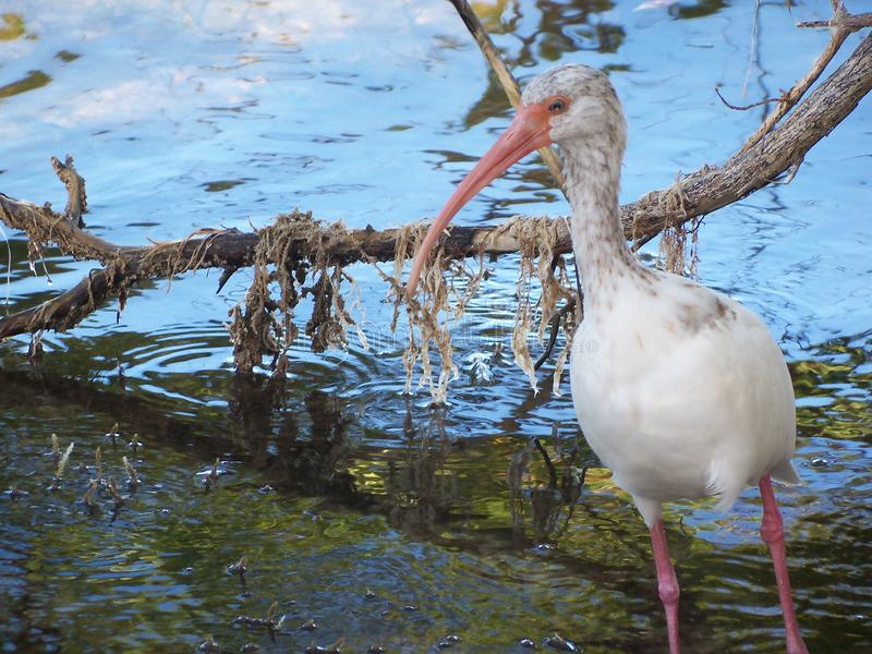 Close up look at a wild Ibis on Key Largo shore. A closeup look at a white Ibis bird feeding in the shallows at the edge of Florida Bay stock photo