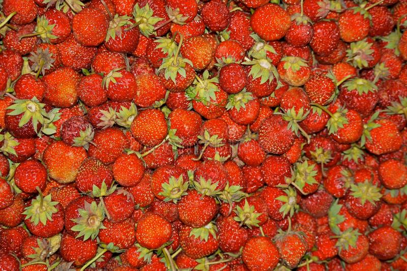 Close up of a lot of fresh red ripe garden strawberries stock photography