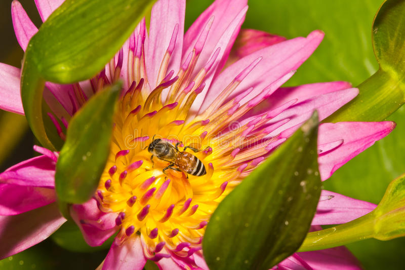 Download Close up of lotus flower stock image. Image of insect - 26228921