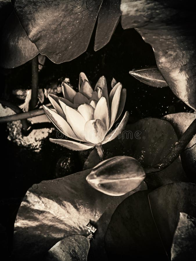 Lotus flower in black and white royalty free stock image