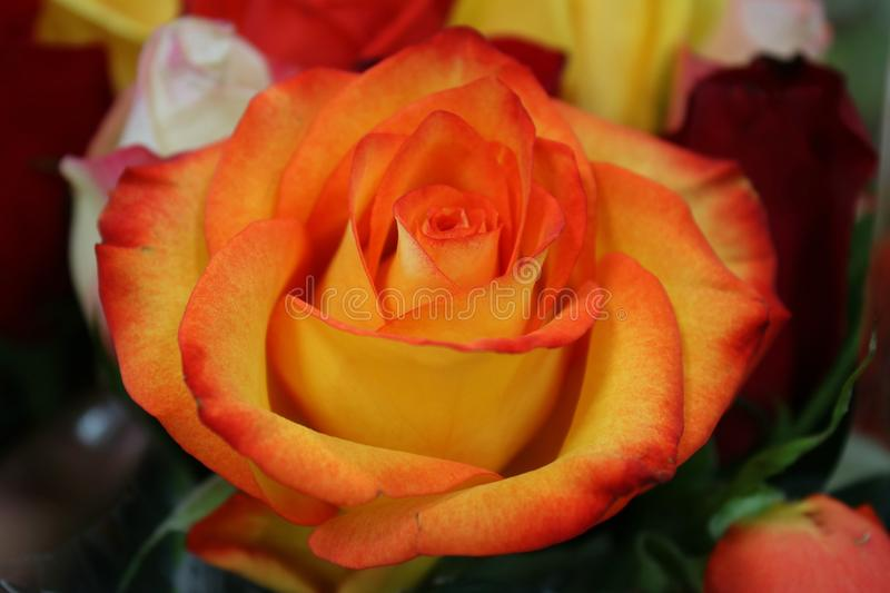 A close up of a lovely bi-colored rose in bloom. royalty free stock photography